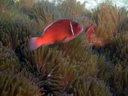 Clown-fish on anemones